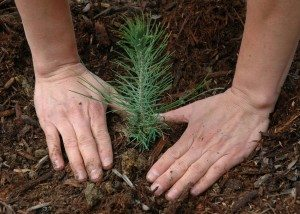 SeedlingplantingUSDAForestServ3003.75