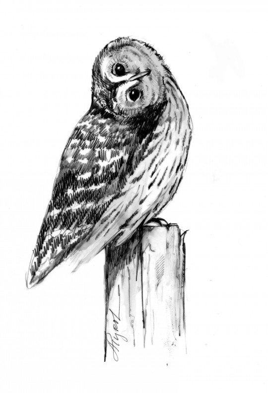 TOS_barred_owl