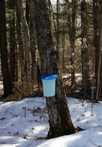 Tapped Birch Trees
