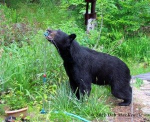 black_bear_Deb-mckenzie_070110_a