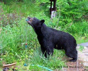 black_bear_Deb-mckenzie_070110_a