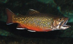 Brook-trout-300x181