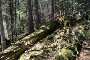 Bushwhack Fallen Spruce and Duff