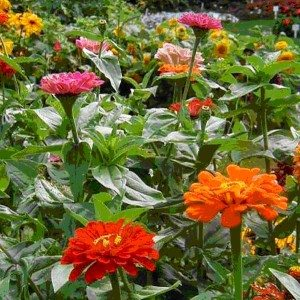 flowers - courtesy Cornell Home Gardening Growing Guide online