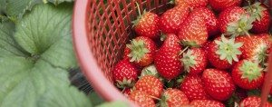 Strawberry field basket