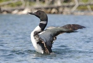 Loon in Adirondacks.JLM. (1)