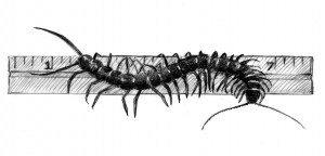 TOS_centipede