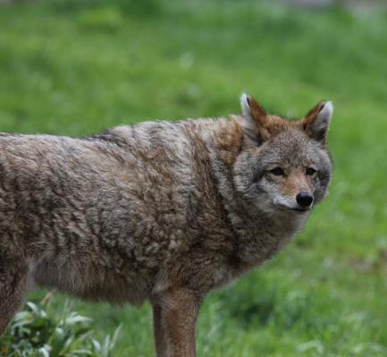 Wolf, Coyote, or Coywolf? New Science On Wolf Hybrids ...