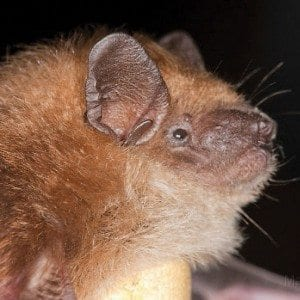 Brown-bat