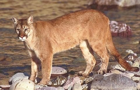 A Cougar In Crown Point You Be The Judge The Adirondack Almanack