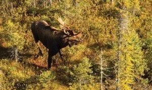 Moose-population-300x178