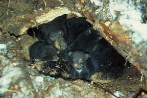 7-year-old mother Black Bear with cubs in a den under a fallen tree - courtesy North American Black Bear Center