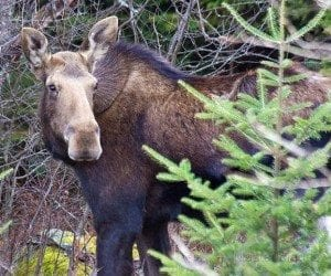 Adirondack moose (DEC Photo)