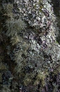 A lichen covered tree
