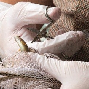 A brook trout has its fin clipped for a genetic study - Photo by Mike Lynch