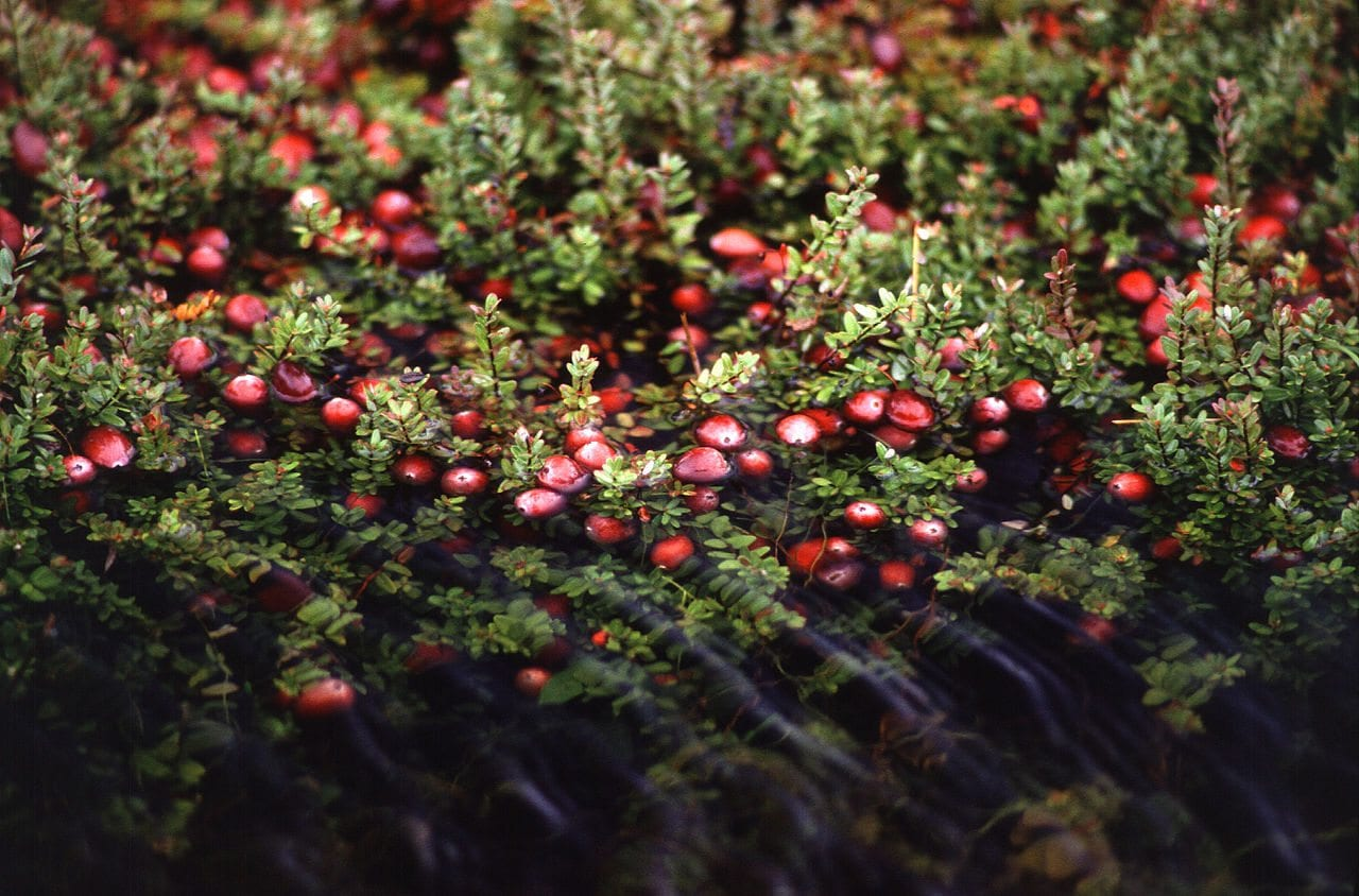 Cranberries - Keith Weller, Agricultural Research Service Photo