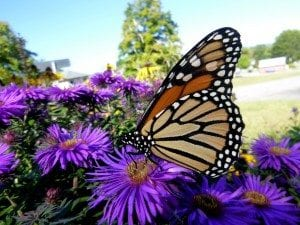 A monarch butterfly visits the pollinator garden that is maintained with water harvested in a rain barrel.