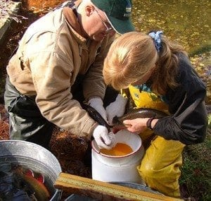 Collecting heritage straing brook trout eggs.