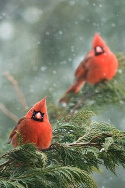 Northern Cardinals in Ohio in a photo taken by Michele Black during the 2015 GBBC