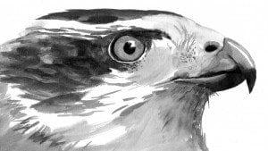 Goshawk: Apex Accipiter