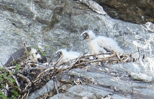 Peregrine Falcon Nest Monitoring Results
