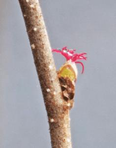 female hazlenut flower
