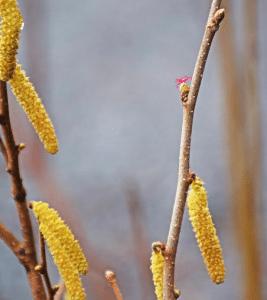 male and female hazlenut flower