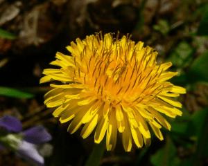 dandelion by greg hume
