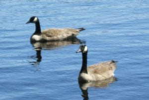 Geese - Diane Chase Photo