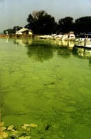 a harmful algal bloom