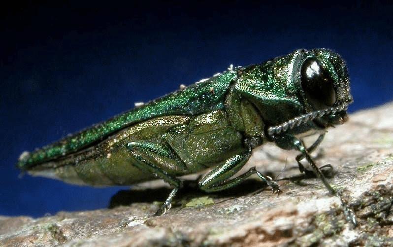 emerald ash borer photo courtesy DEC