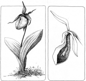 the outsider lady slippers