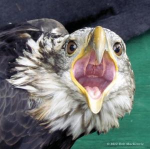 bald eagle by Deb Mackenzie