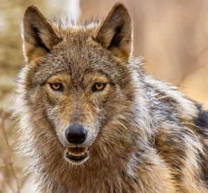 wolf by Terry Hawthorne