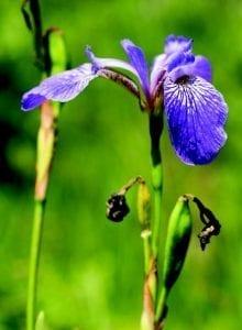 blue flag flower