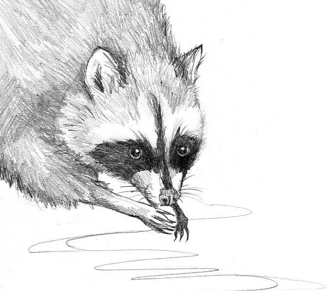 racoon washing