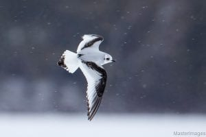 Ross's gull in flight in Tupper Lake in Jan 2017 by Larry Master