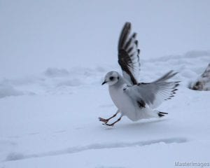 Ross's gull landing at Tupper Lake in Jan 2017 by Larry Master