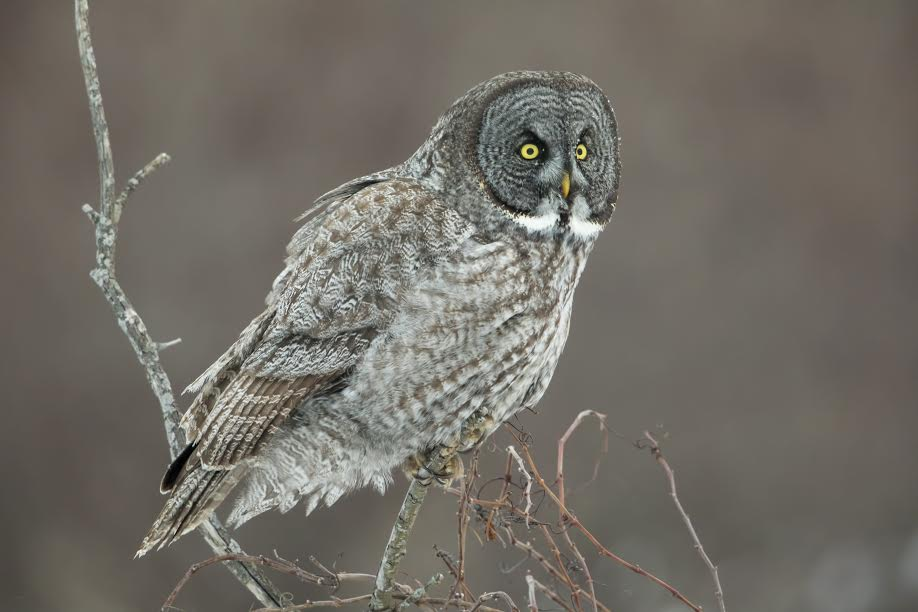 great gray owl facts - 918×612