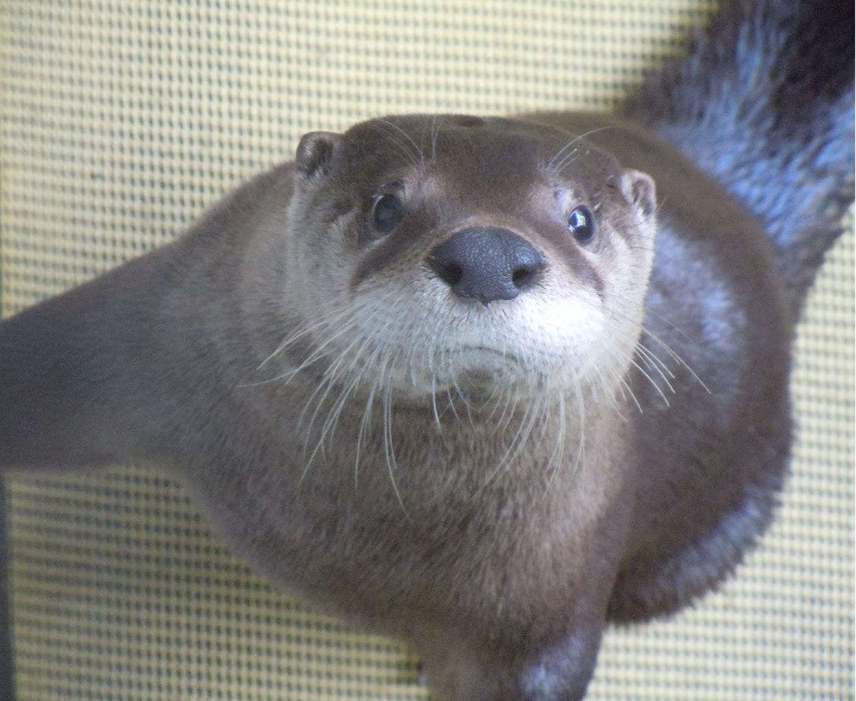 Remy was a North American River Otter who lived at The Wild Center