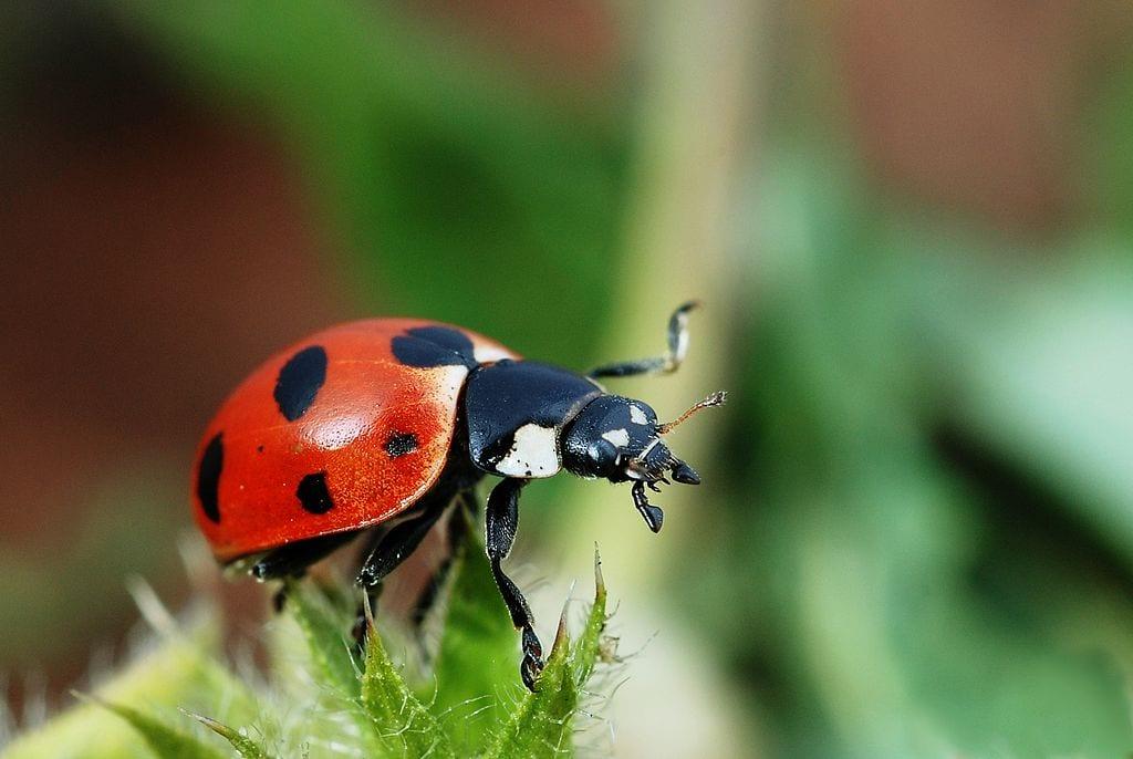 Spring Visitors Ladybug Beetles The Adirondack Almanack