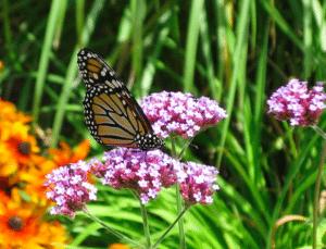 Monarchon Milk Weed (Diane Chase Photo)