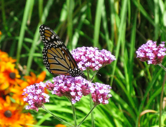 Monarchon Milk Weed (Diane Chase Photo)