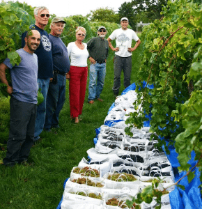 harvest picked by volunteers and Cornell educators at the Cold Hardy Grape Research Nursery at the Willsboro Research Farm