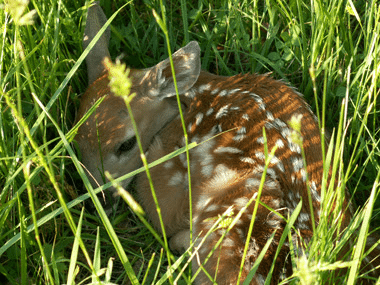young buck fawn