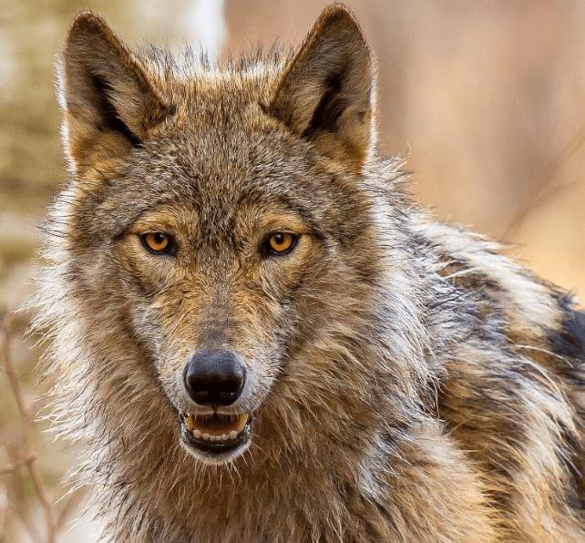 Kiska the wolf