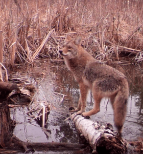 coyote photographed by local trail cam