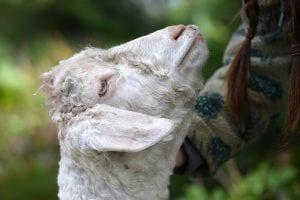 Homesteading Festival goat