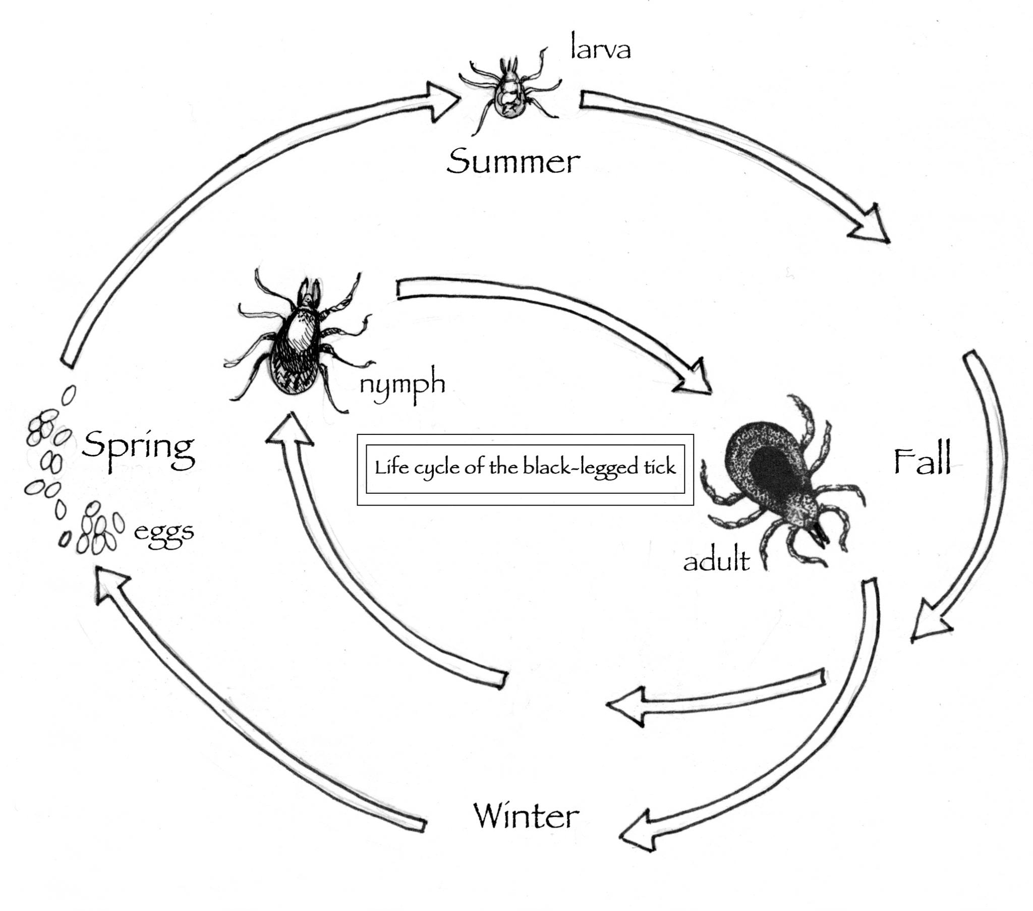 tick life cycle