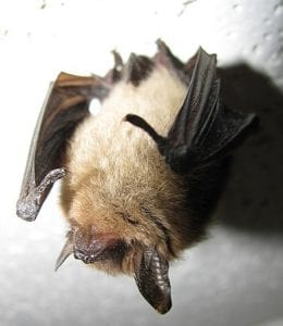 northern long-eared bat courtesy wikimedia user Jomegat